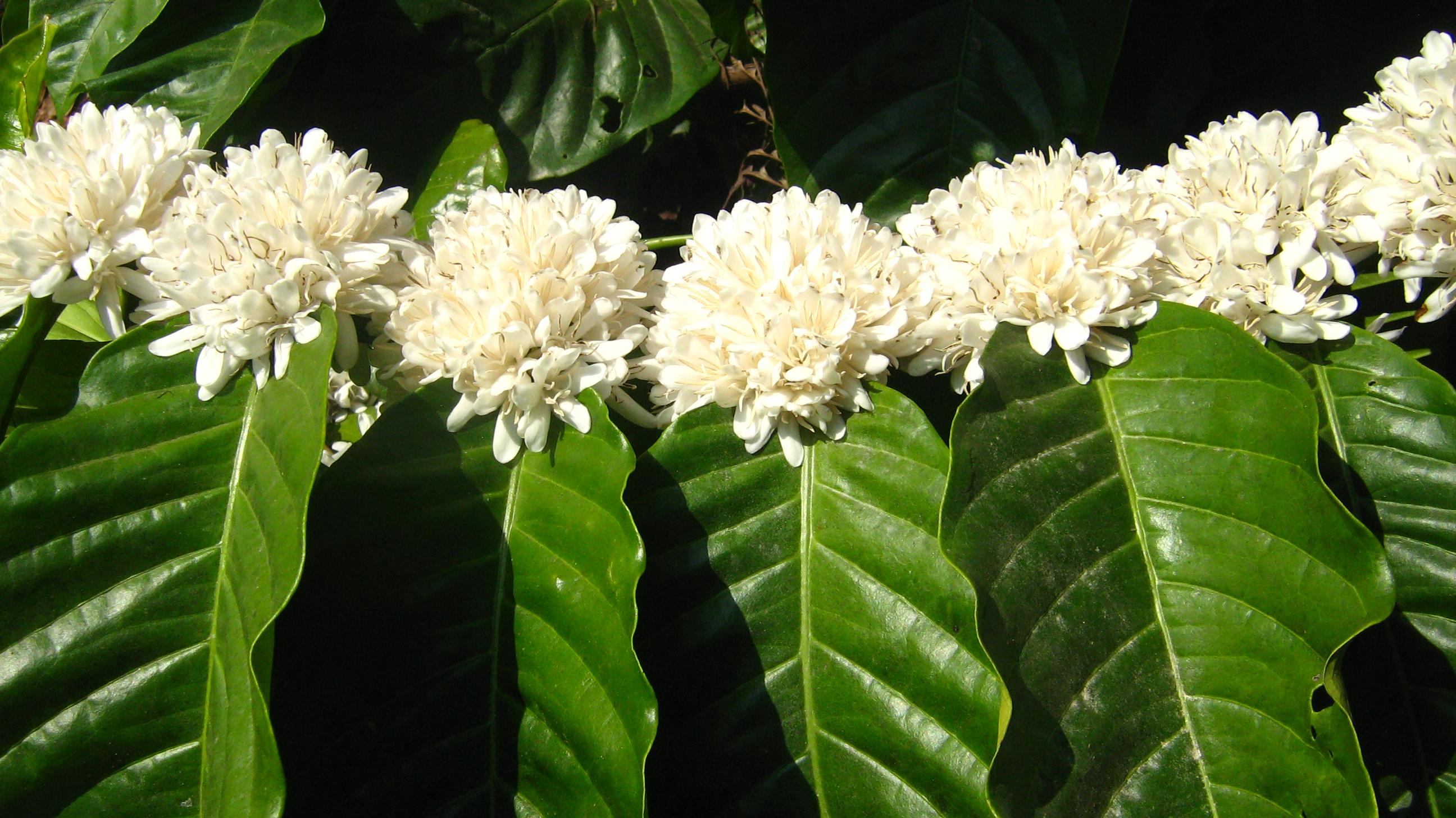 Цветет кофе картинка