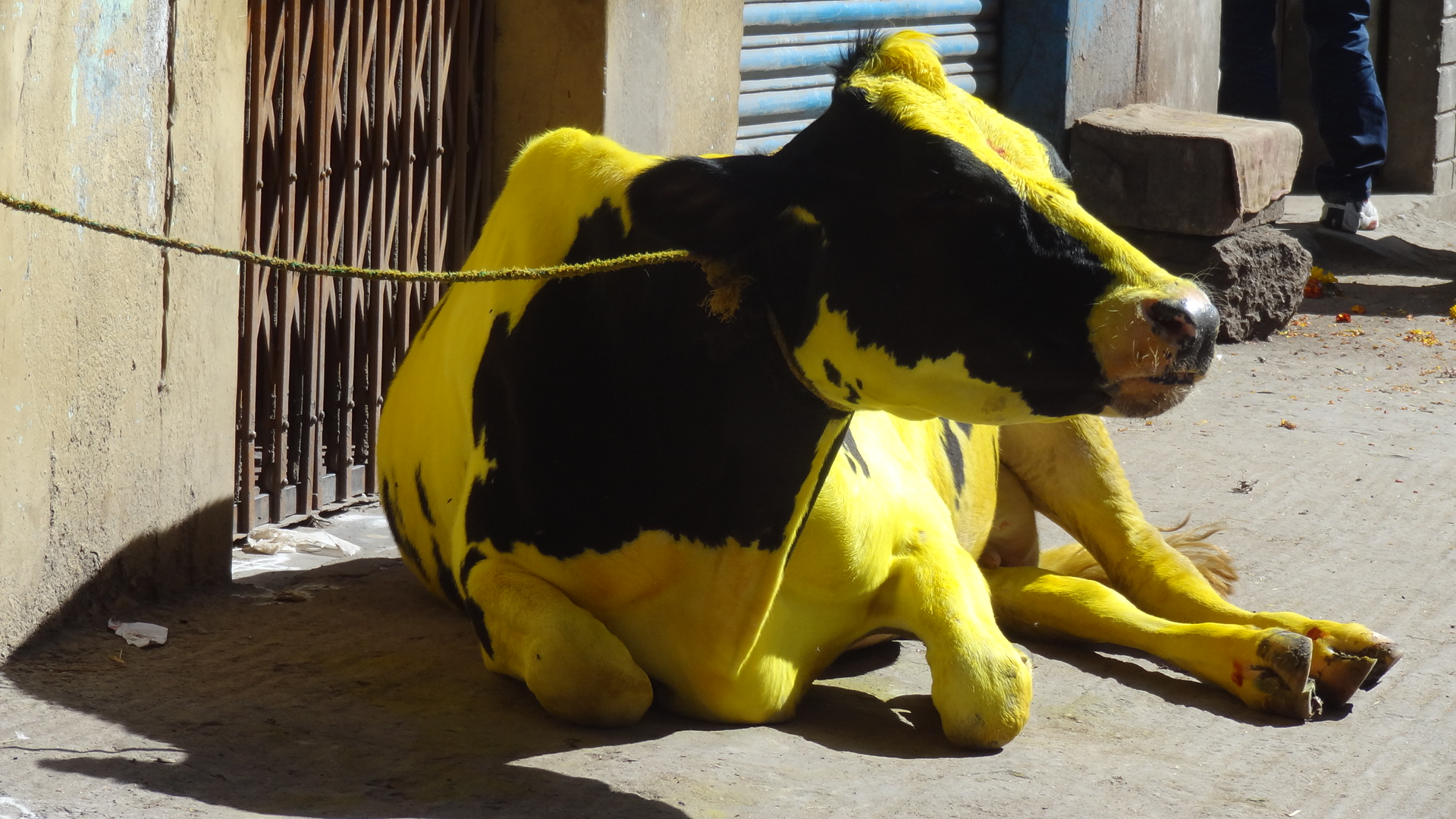 the yellow cow � the girl next door